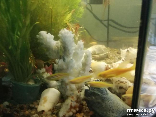 фото 1: Немного фотографий моих аквариумных жителей.