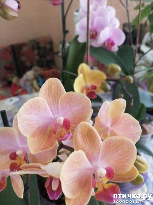 фото: Хочу похвастать своими орхидеями.:)