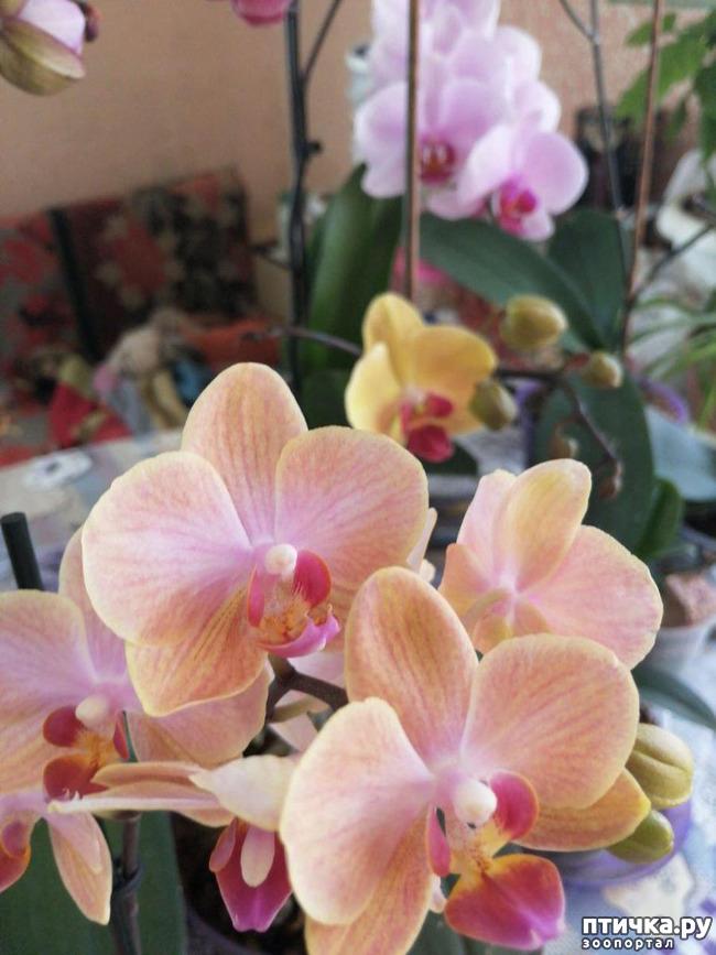 фото 1: Хочу похвастать своими орхидеями.:)