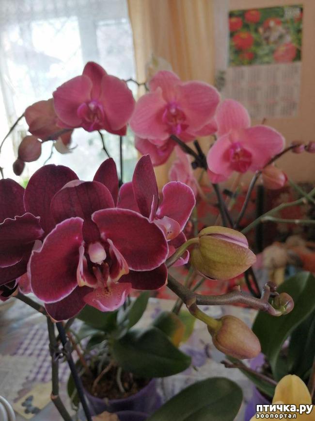 фото 2: Хочу похвастать своими орхидеями.:)