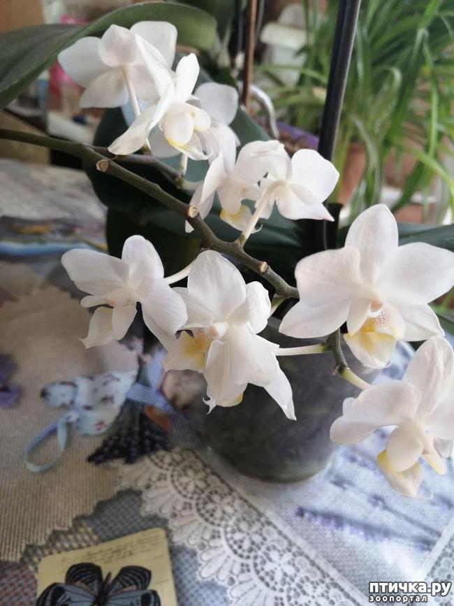 фото 3: Хочу похвастать своими орхидеями.:)