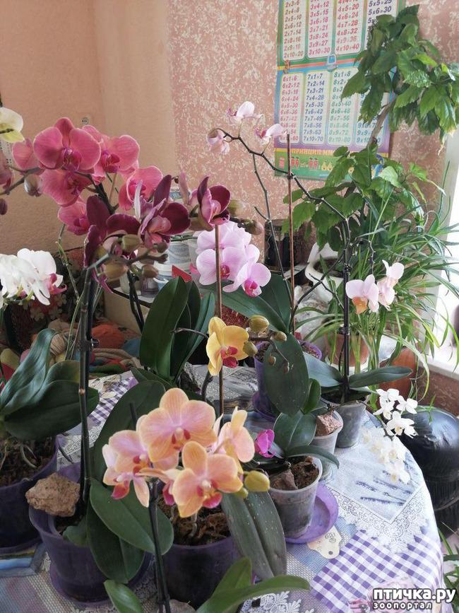 фото 4: Хочу похвастать своими орхидеями.:)