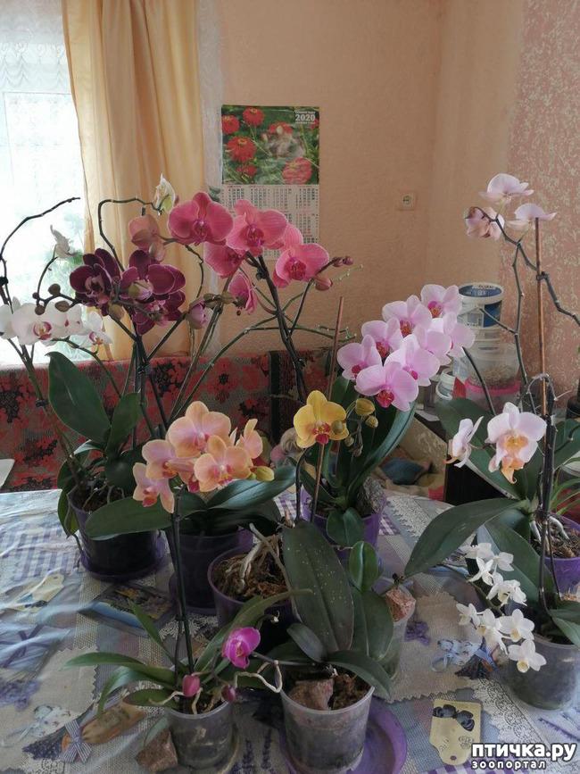 фото 5: Хочу похвастать своими орхидеями.:)