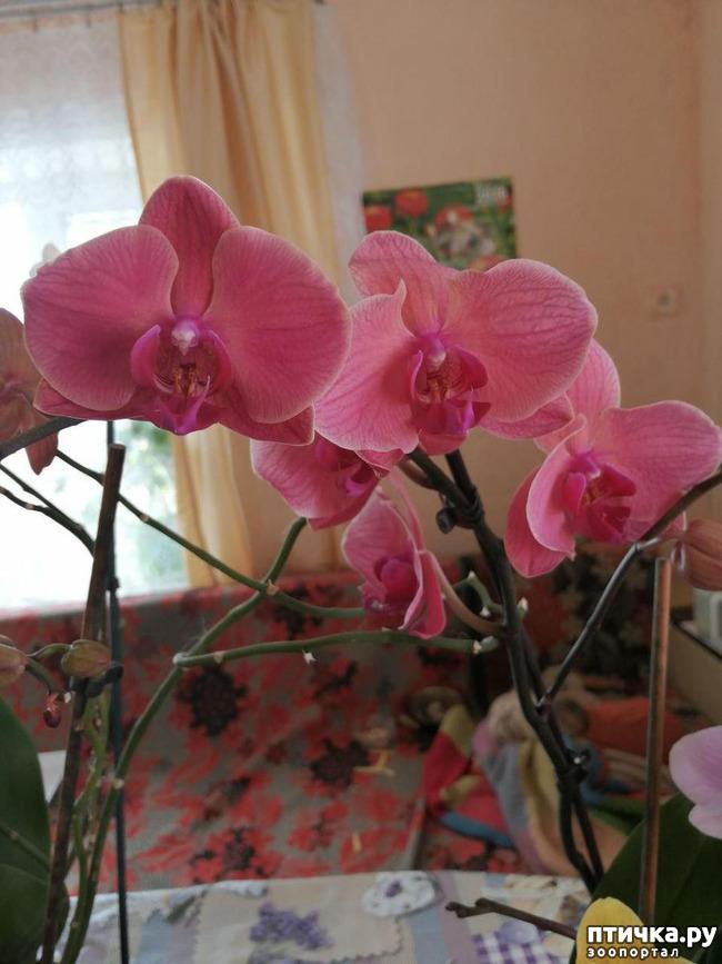 фото 6: Хочу похвастать своими орхидеями.:)