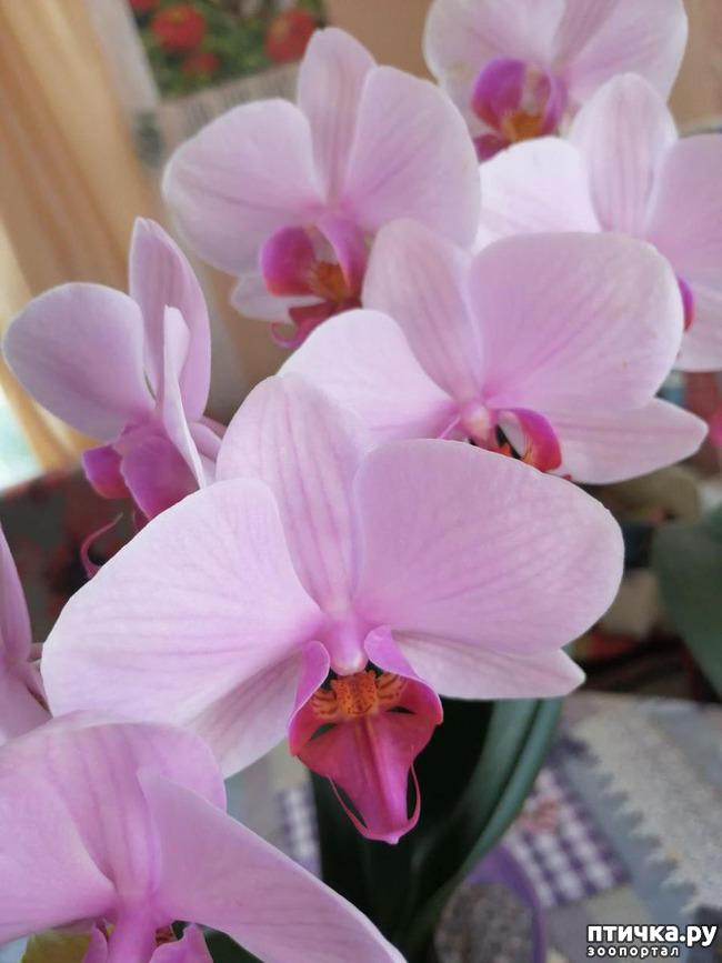 фото 7: Хочу похвастать своими орхидеями.:)