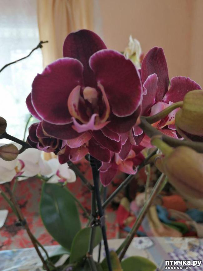 фото 8: Хочу похвастать своими орхидеями.:)