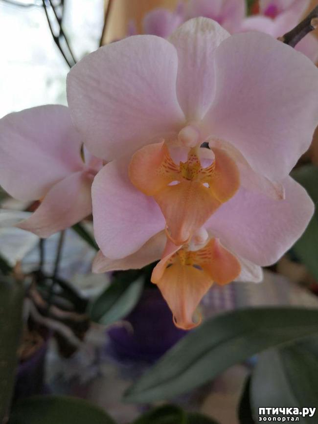 фото 9: Хочу похвастать своими орхидеями.:)