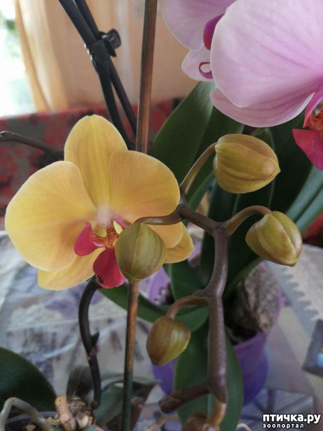 фото 10: Хочу похвастать своими орхидеями.:)