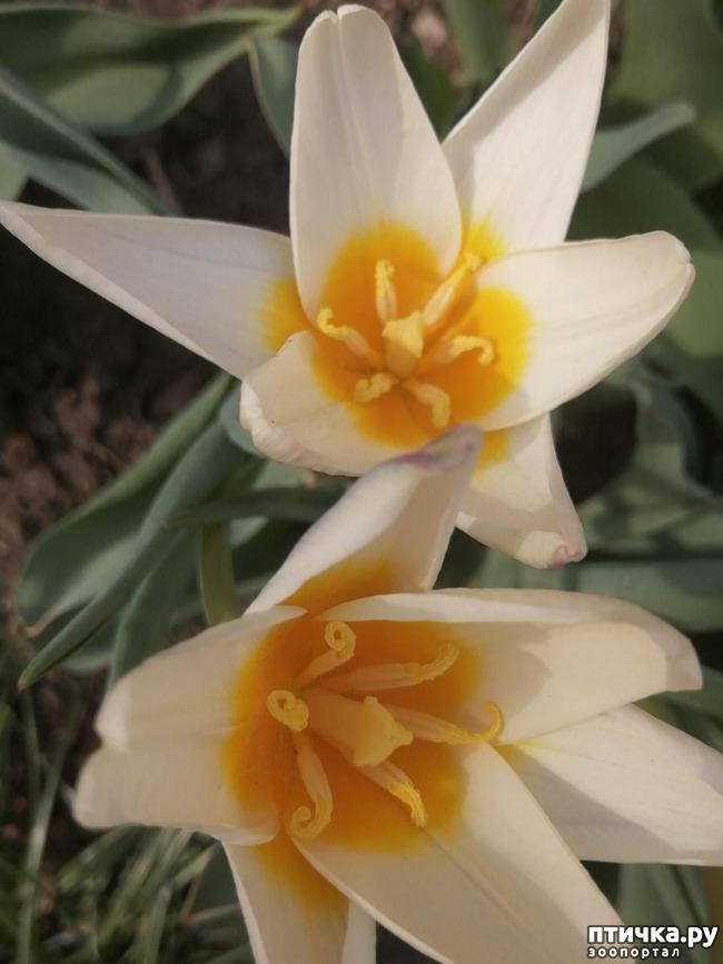 фото 11: Хочу похвастать своими орхидеями.:)