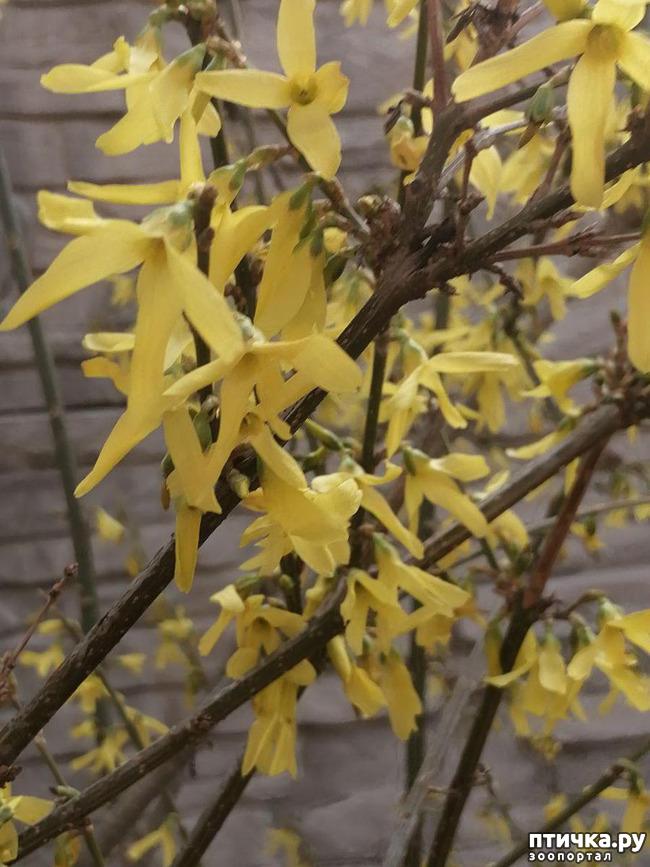 фото 13: Хочу похвастать своими орхидеями.:)