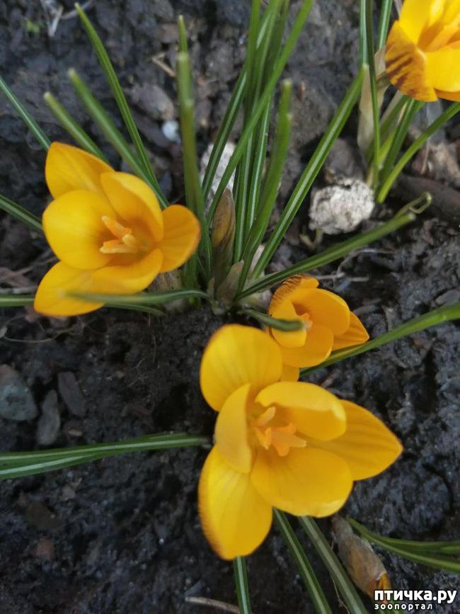 фото 14: Хочу похвастать своими орхидеями.:)