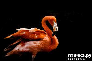 фото: Фламинго - птица огня