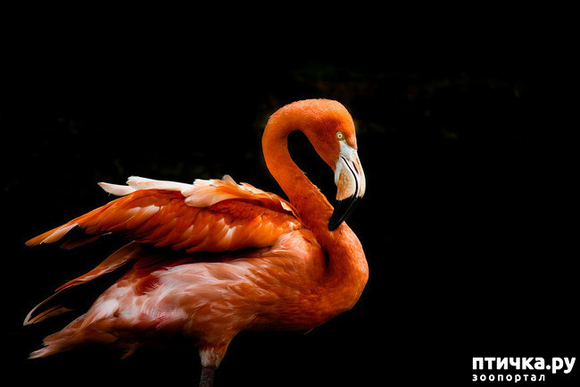 фото 1: Фламинго - птица огня