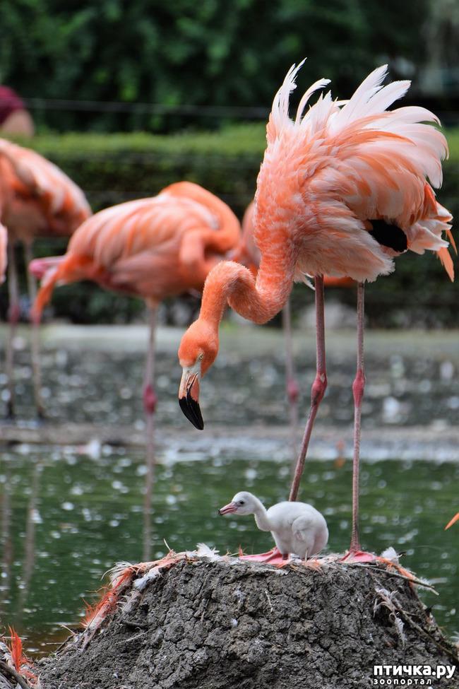 фото 11: Фламинго - птица огня