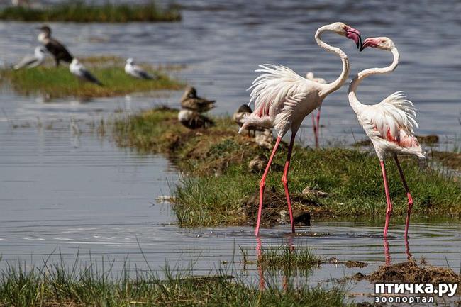 фото 9: Фламинго - птица огня