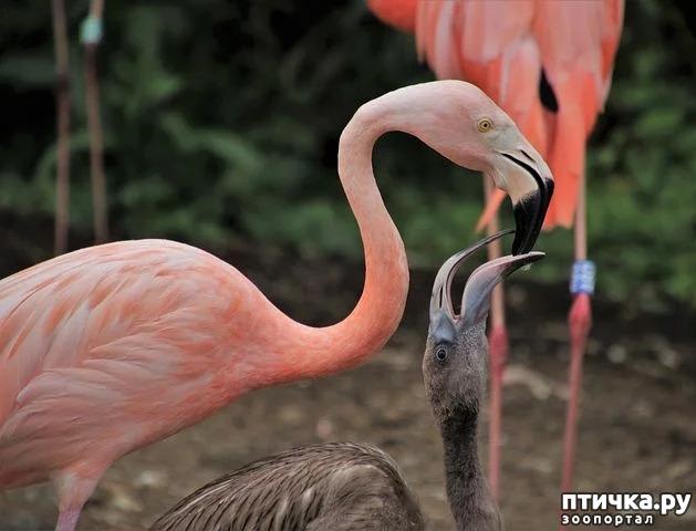 фото 13: Фламинго - птица огня