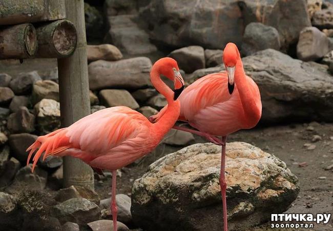 фото 14: Фламинго - птица огня