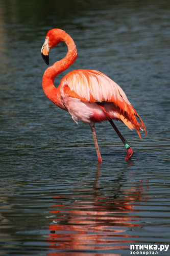фото 2: Фламинго - птица огня