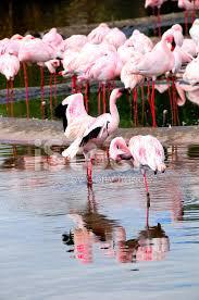 фото 6: Фламинго - птица огня
