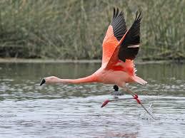 фото 7: Фламинго - птица огня