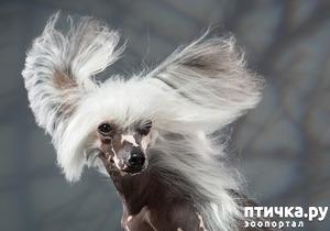 фото: Китайская хохлатая собака: парадоксальная порода.