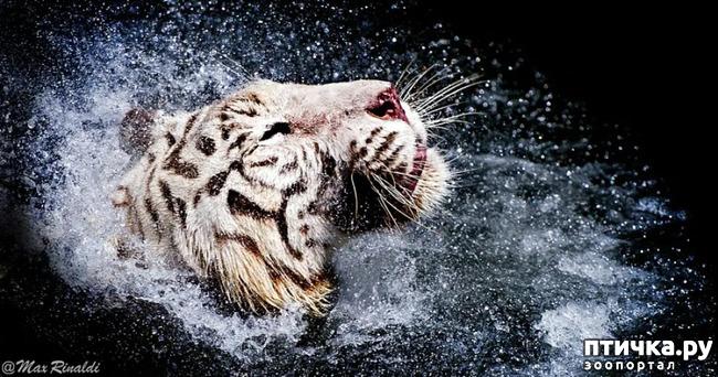 фото 14: Тигриный магнетизм