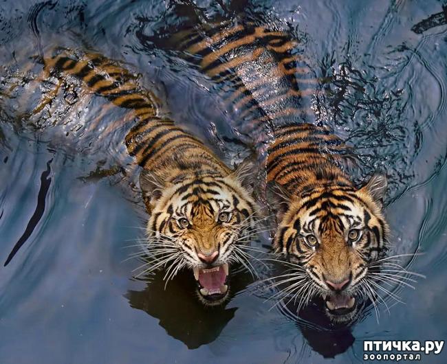 фото 16: Тигриный магнетизм