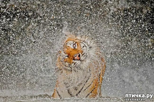 фото 17: Тигриный магнетизм