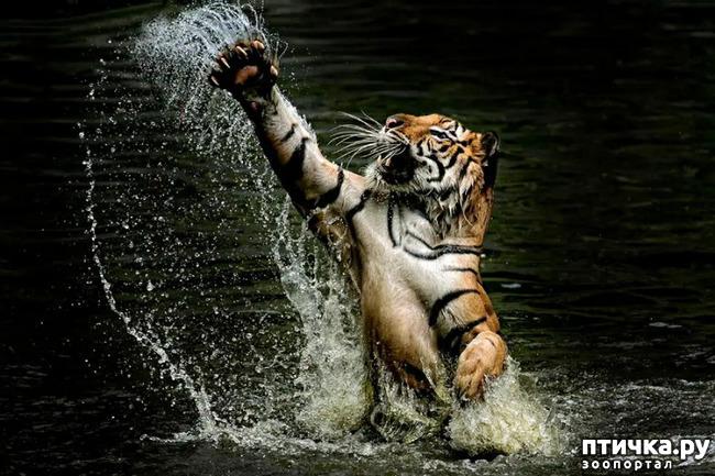 фото 18: Тигриный магнетизм
