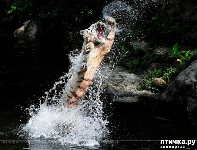 фото 22: Тигриный магнетизм