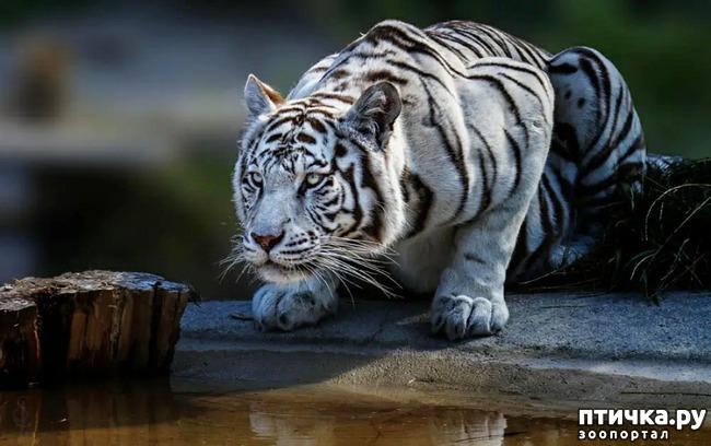 фото 20: Тигриный магнетизм
