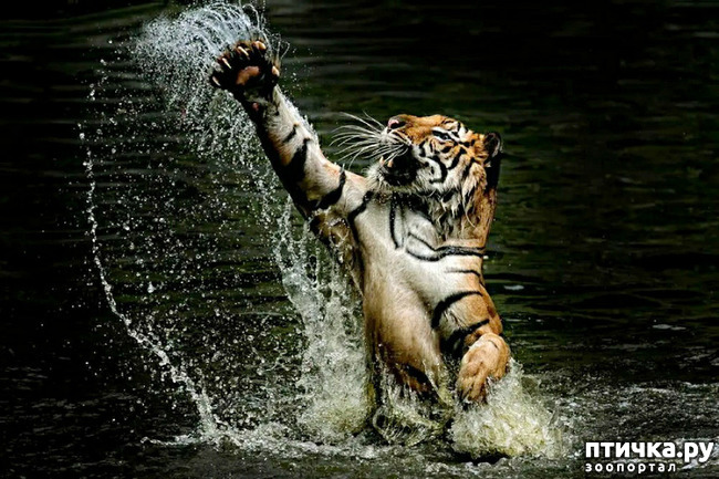 фото 26: Тигриный магнетизм