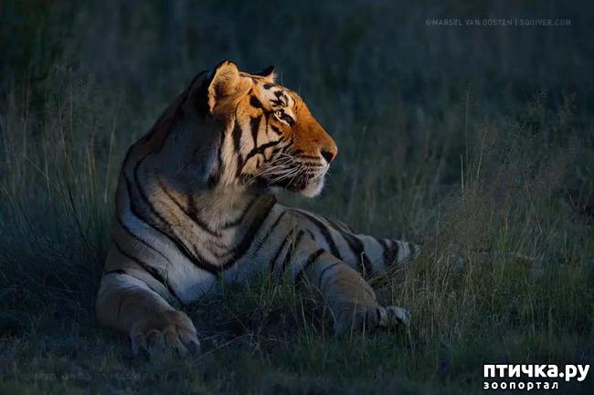 фото 25: Тигриный магнетизм
