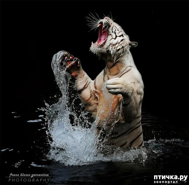 фото 24: Тигриный магнетизм