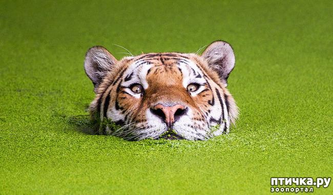 фото 6: Тигриный магнетизм