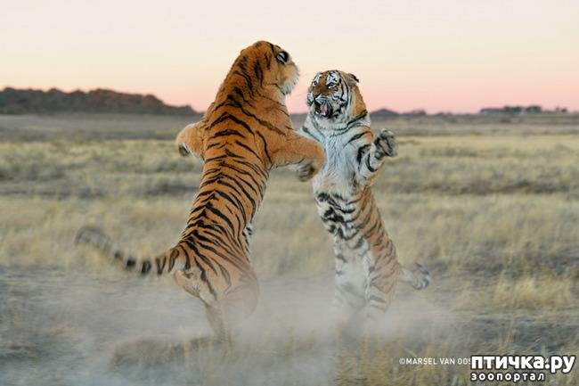 фото 8: Тигриный магнетизм