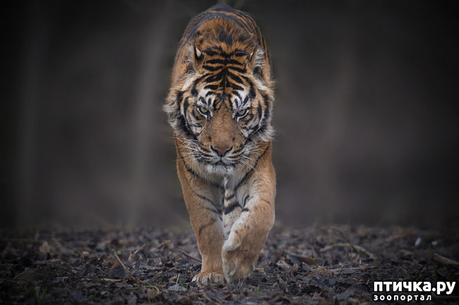 фото 10: Тигриный магнетизм