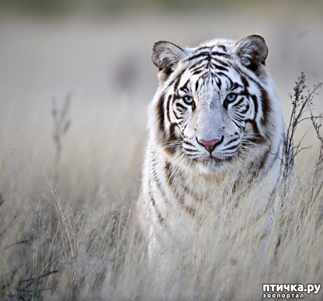 фото 7: Тигриный магнетизм