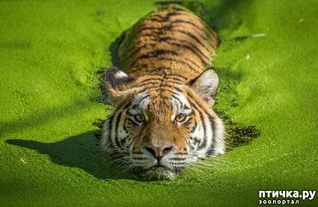 фото 13: Тигриный магнетизм