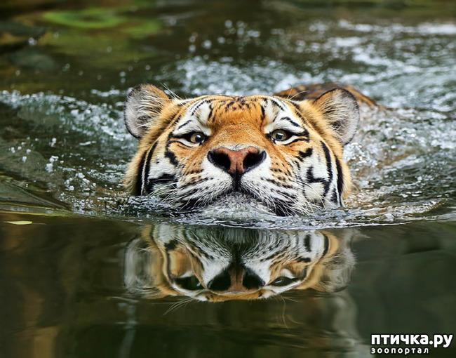фото 11: Тигриный магнетизм