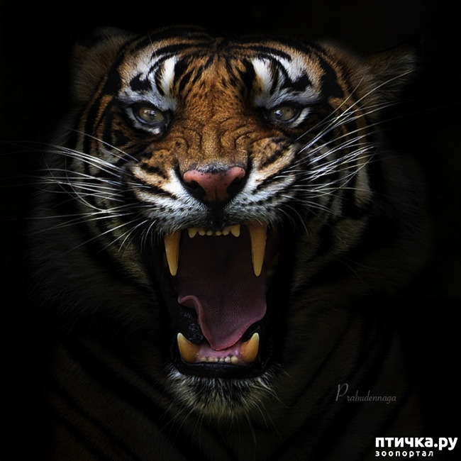 фото 12: Тигриный магнетизм
