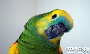 фото: Зачем попугай выдергивает перья? И как с этим связаны игрушки?