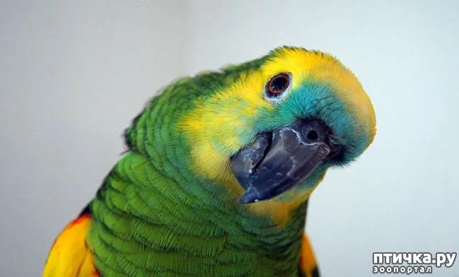 фото 1: Зачем попугай выдергивает перья? И как с этим связаны игрушки?