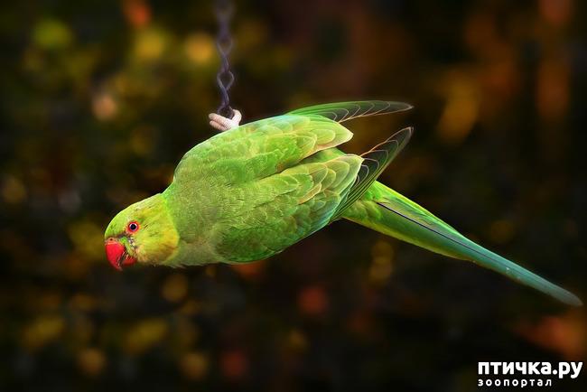фото 3: Зачем попугай выдергивает перья? И как с этим связаны игрушки?