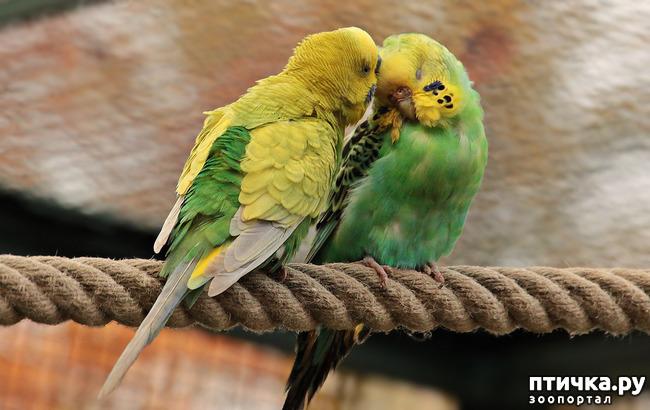 фото 4: Зачем попугай выдергивает перья? И как с этим связаны игрушки?