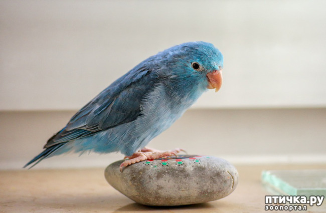 фото 5: Зачем попугай выдергивает перья? И как с этим связаны игрушки?