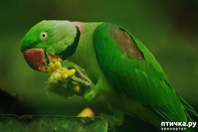 фото 2: Зачем попугай выдергивает перья? И как с этим связаны игрушки?