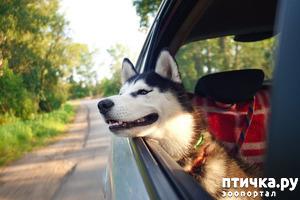 фото: Почему собаки высовывают нос из машины?