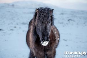 фото: Исландские лошади: маленькие, мохнатые, таинственные