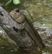 фото: Илистый прыгун. Рыба, которая покорила сушу.